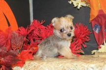 Mia Female CKC Morkie $1500 Ready 10/24 HAS DEPOSIT