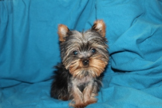 Teeny Male Micro-T-cup Yorkie 13 weeks old 1.7lbs EAW 2.11 lBS $2500 LABOR DAY SALE $2000