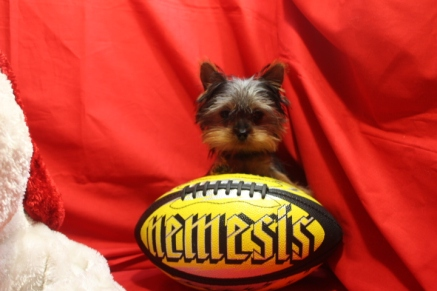 Teeny Male Micro-T-cup Yorkie 17 weeks old 1.12 lbs EAW 3 lBS $3000 LABOR DAY SALE $2000 SOLD
