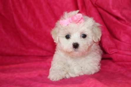 Anabella Female CKC Maltese $1750 Ready Aug 8th SOLD