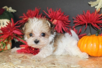 AKA Female CKC Morkie $2000 Ready 10/24 SOLD