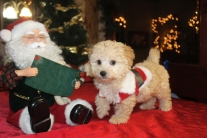 Lucky Male CKC Yorkipoo $1750 Ready 11/19 SOLD! MY NEW HOME IS DOWNINGTOWN, PA