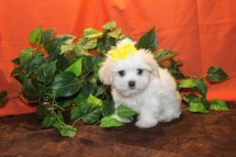 Sheba Female CKC HavaShu $1750 Ready 11/1 SOLD!