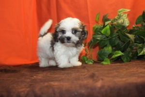 Havanese Hava Shu Havanese Shih Tzu Mix Puppies Available