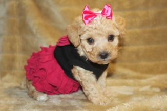 Lucy Female CKC Yorkipoo $1750 ready on 11/19 HAS DEPOSIT