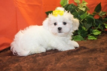 Sassy Female CKC HavaShu $1750 Ready 11/1 SOLD