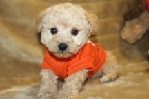 Lucky Male CKC Yorkipoo $1750 Ready 11/19 AVAILABLE