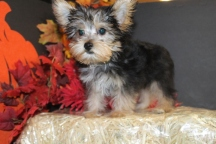 Owens Male CKC Yorkie 13 Wks Old $1500 Ready 9/17 EAW 4-4.8 LBS SOLD