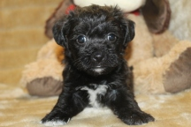 Smartie Male CKC Morkipoo $1500 Ready on 11/18 HAS DEPOSIT