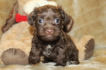 Cracker Jack Male CKC Morkipoo $1750 Ready on 11/18 HAS DEPOSIT!
