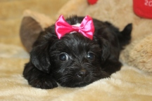 Godiva Female CKC Morkipoo $1500 Ready on 11/18 HAS DEPOSIT!