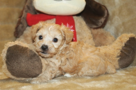 Luke Male CKC Yorkipoo $1750 ready Nov 19th HAS DEPOSIT