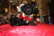 Heath Male CKC Morkipoo $1500 ready on 11/18 SOLD MY NEW HOME IS JACKSONVILLE FL
