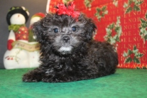 Love Female CKC Shihpoo $1750 Ready 11/26 SOLD