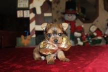 Dancer Male T-Cup Yorkie light Chocolate $2000 Ready 12/24 HAS DEPOSIT MY NEW HOME IN jACKSONVILLE, FL