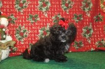 Grace Female CKC Shihpoo $1750 Ready on 11/25 SOLD