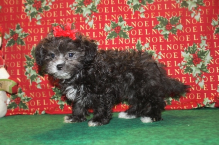 Joy Female CKC Shihpoo $1750 Ready on 11/26 SOLD