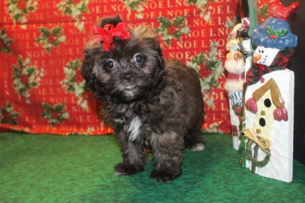 Faith Female CKC Shihpoo Ready on 11/26 $1750 SOLD