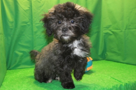 Gentle Spirit Male CKC Shihpoo $1500 Ready NOW AVAILABLE JUST DISCOUNTED SPECIAL $999 SOLD MY NEW HOME Jacksonville, FL