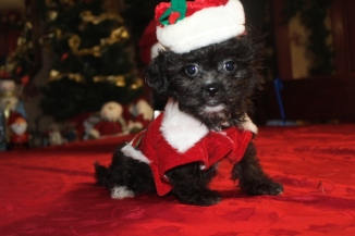 Grace Female CKC Shihpoo $1750 Ready on 11/25 AVAILABLE