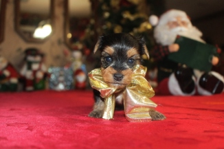 Ginger Female CKC T-Cup Yorkie $1750 Ready 12/24 HAS DEPOSIT! MY NEW HOME IS PANAMA, FL