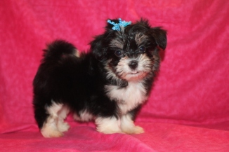 Spice Female CKC Havanese $1800 Ready 11/27 SOLD