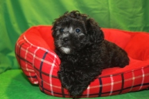 Magic Male CKC Shihpoo $1500 Ready 1/23 AVAILABLE
