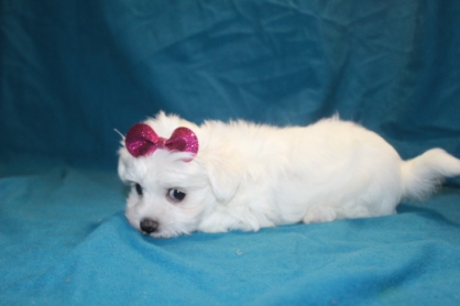 Snow White Female CKC Maltese $1750 Ready 2/2 SOLD MY NEW HOME JACKSONVILLE, FL