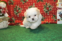 Snowball Male Imperial CKC Shih Tzu $1500 Ready 12/24 OLD MY NEW HOME IS JACKSONVILLE, FL