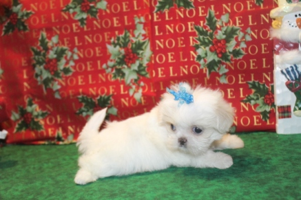 Snowflake Female CKC Imperial Shih Tzu $1750 Ready 12/24 SOLD MY NEW HOME AMELIA ISLAND, FL