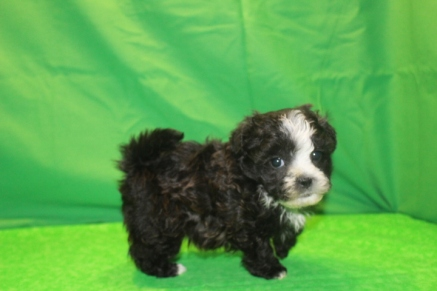 Winky Female CKC Malshi $1750 Ready 1/29 AVAILABLE