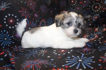 Bambi Female CKC Havanese $1800 Ready 1/7 SOLD MY NEW HOME IS JACKSONVILLE, FL