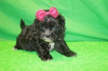 Dinky Female CKC Malshi $1750 Ready 1/29 HAS DEPOSIT MY NEW HOME JACKSONVILLE, FL