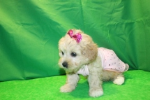 Maddi Female CKC Shihpoo $1750 Ready 1/23 SOLD! MYNEW HOME GREENSBORO, GA