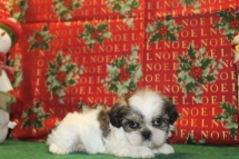 Nicholas Male Imperial CKC Shih Tzu $1750 Ready 12/24 SOLD MY NEW HOME JACKSONVILLE, FL
