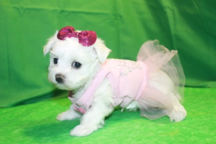 Snow White Female CKC Maltese $1750 Ready Feb 2nd HAS DEPOSIT MY NEW HOME JACKSONVILLE, FL