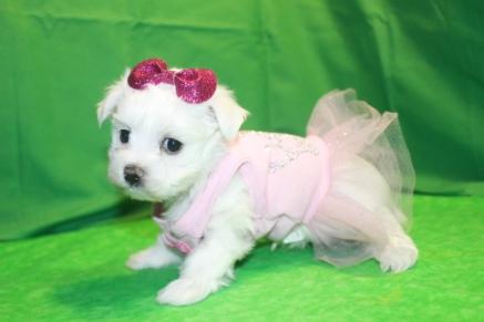 Snow White Female CKC Maltese $1750 Ready Feb 2nd HAS DEPOSIT MY NEW HOME JACKSONVILLE, FL