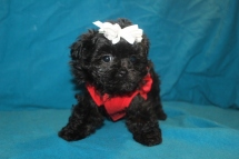 Tink Female CKC Malshi $1500 Ready 1/29 HAS DEPOSIT MY NEW HOME NATRONA HEIGHTS, PA