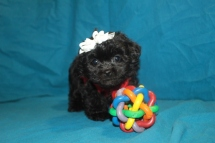 Binky Female CKC Malshi $1500 SOLD MY NEW HOME IS CINCINNATI OH
