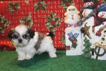 Nicholas Male Imperial CKC Shih Tzu $1750 Ready on 12/24 SOLD MY NEW HOME JAX, FL