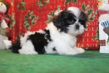Oreo Male CKC Imperial Shih Tzu $1500 Ready 12/24 SOLD MYNEW HOME JAX, FL