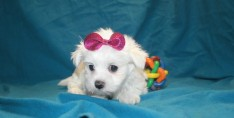 Snow White Female CKC Maltese $1750 Ready Feb 2nd SOLDMY NEW HOME JACKSONVILLE, FL