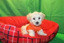 Mascot Male CKC Shihpoo $1750 Ready 1/23 SOLD MY NEW HOME JAX, FL