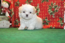 Snowball Male Imperial CKC Shih Tzu $1500 Ready 12/24 SPECIAL $999 SOLD MY NEW HOME IS AMELIA ISLAND, FL