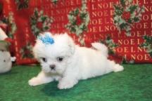 Snowflake Female Imperial CKC Shih Tzu $1750 Ready 12/24 SOLD MY NEW HOME AMELIA ISLAND, FL