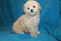 Dreamie Female CKC Maltipoo $1750 Ready 2/2 SOLD MY NEW HOME IS JACKSONVILLE, FL
