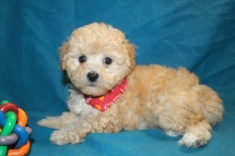 Drummer Male CKC Maltipoo $1750 Ready 2/2 SOLDMY NEW HOME PERRY GA