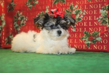 Holly Female CKC Havanese $1800 Ready 1/7 SOLD MY NEW HOME JACKSONVILLE, FL