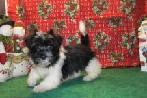 Buster Male CKC Havanese $1800 SPECIAL $999 AVAILABLE