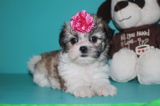 Glimmer Female CKC Shihpoo $1750 Ready 3/19 SOLD MY NEW HOME IS FT WALTON, FL